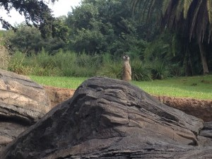 Meerkat viewing on the Pangani Forest Exploration Trail.  Photo by Stephanie Shuster.
