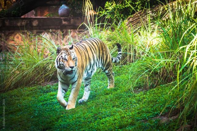 Beautiful tigers are the main event at The Maharajah Jungle Trek.  Photo by Eddison Esteban.